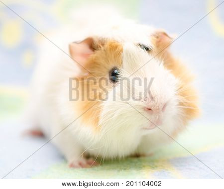 Cute Abyssinian guinea pig against a bright background (shallow DOF selective focus on the guinea pig nose)