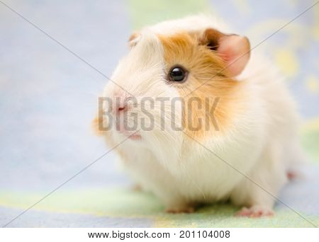 Cute Abyssinian guinea pig against a bright background (shallow DOF selective focus on the guinea pig nose) with copyspace on the left