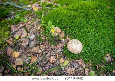 Closeup of a common earthball growing in the forest between frsh green moss