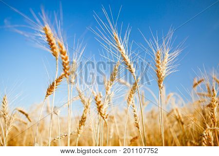 Photo of fresh wheat in field, blue clear sky, blurred background