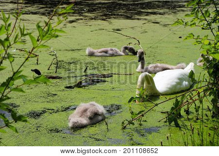 Swan cygnets and a duck swimming and eating in a lake with duckweed on the surface.