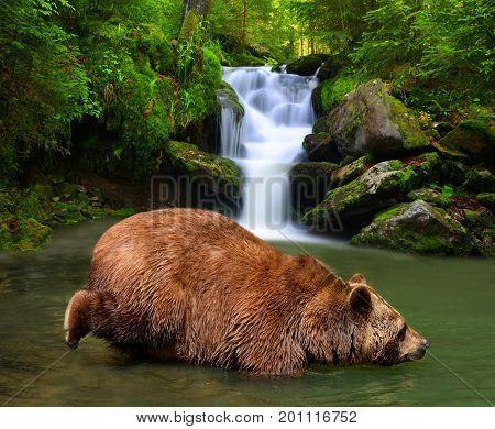Brown Bear (Ursus arctos) wading in mountain creek.