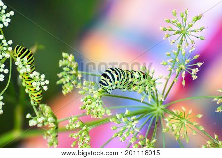 Swallowtail caterpillar eating the leaf of cow parsnip