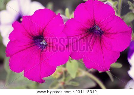 Beautiful flowers of pink petunia in the garden