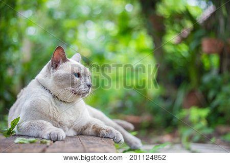 Thai house cat Siamese cat species sit on wooden.