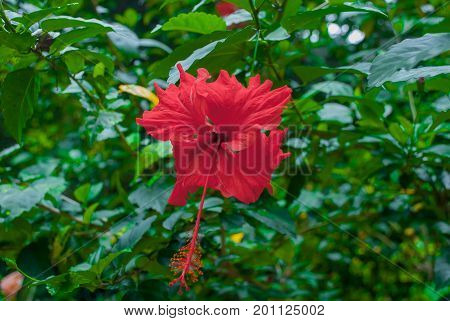 The Flowers Are Red On A Background Of Green Leaves. Borneo, Malaysia