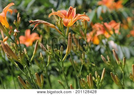 Orange day lily (Hemerocallis) beside an old country road. Day lilies are rugged, adaptable, vigorous perennials and comes in a variety of colors