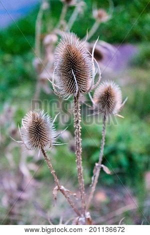 briwn spike plant close up photo isolated