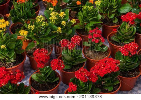 Flowers At The Farmers ' Market In Malaysia. Red And Yellow Flowers In Pots.