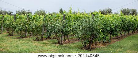 Vineyard, Lujan de Cuyo, Mendoza Province, Argentina