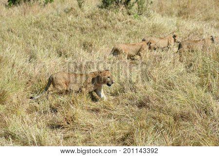 Lions Cubs In Masai Mara, Kenya
