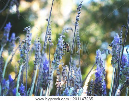 campo de flores de lavandas con abeja