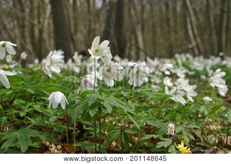 Flowering wood anemones (Anemone nemorosa) in spring woodland taken from a low angle with trees in the background.