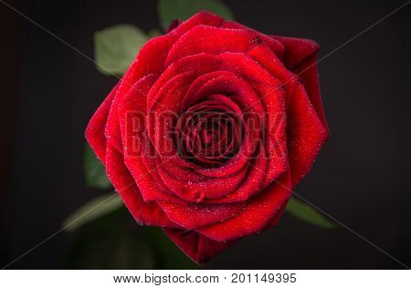 bud of a red rose with drops of water on a dark background