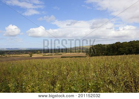Bean Crop And Scenery