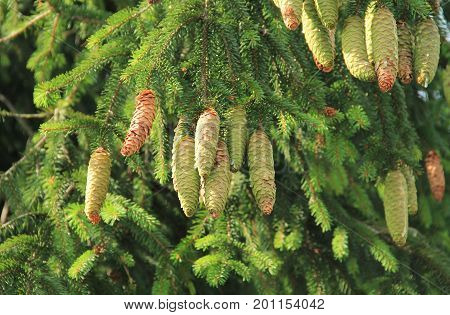 branches of spruce tree with some cones