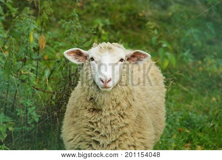 portrait of a sheep with shaggy wool