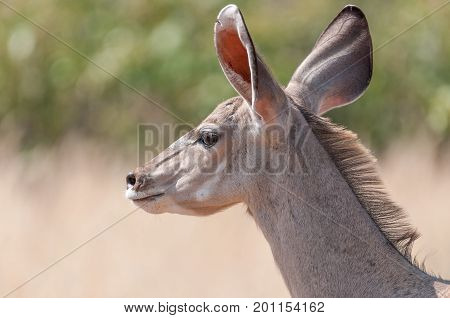 Close-up of a greater kudu cow Tragelaphus strepsiceros in North-Western Namibia