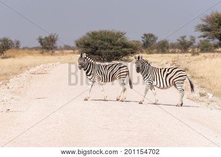 Two Burchells zebras Equus quagga burchellii crossing a road in Northern Namibia. One zebra is pregnant