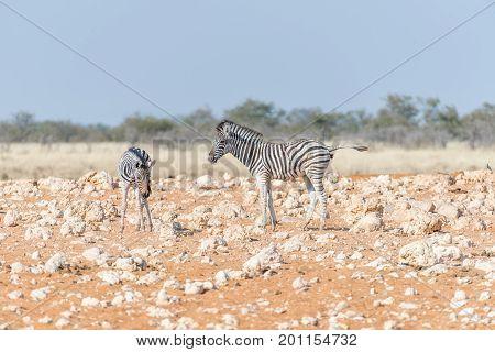 Two Burchells zebra foals Equus quagga burchellii in a red sand and calcrete rock field. One zebra is pooing