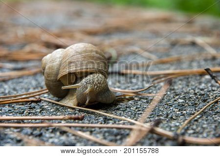 Snail on the asphalt among dry branches