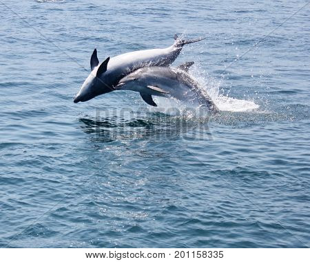 Two bottlenose dolphins breaching strait of Gibraltar