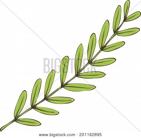Tamarind Branch with Green Leaves Isolated on a White