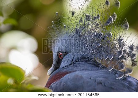 A single Victorian Crowned Pigeon displaying its' head plumage.