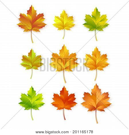 Maple leafs vector illustration isolated on white background