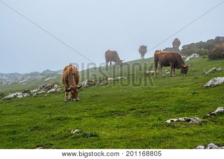 Cows under the fog in Picos de Europa mountains Asturias