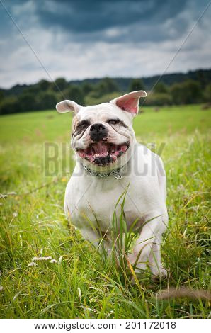 American Bulldog is running on the grass.