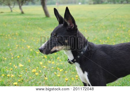 Black doggy in a rural dandelion meadow
