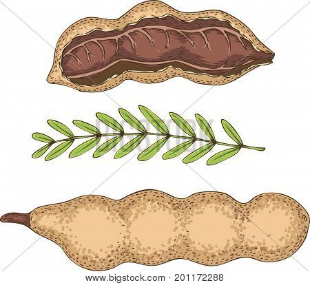 Ripe Tamarind in Cross Section and Whole with Green Branch Isolated on a White Background