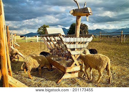 Interesting sheep cratch.  Feeding sheep. Animals concept.