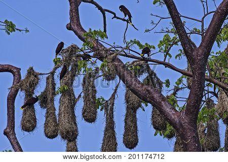 Group of Psarocolius decumanus nesting in Punta Cahuita - Costa Rica