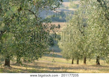 Olive tree in Italy, harvesting time. Sunset olive garden, detail with copy space for your text, soft focus. Olive's grove