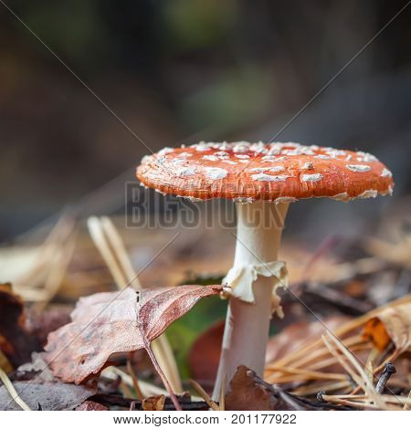 Beautiful but poisonous mushrooms Amanita close-up on bright sunny autumn day amongst fallen leaves. Modern background, wallpaper or banner design with copy space