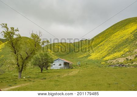 Beautiful Yellow Goldifelds Blossom With Hills And Wooden House