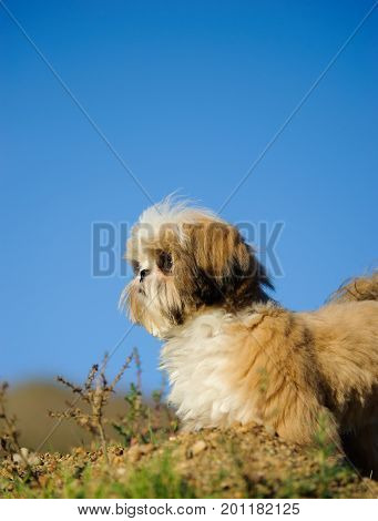 Shih Tzu dog outdoor portrait against hill and sky