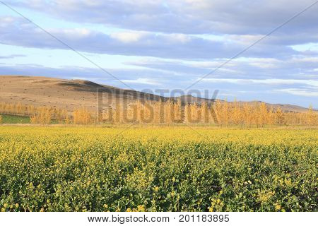 Autumn: golden trees and golden rapeseed flowers in Daxinganling Forest, China