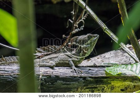 Male Emerald Basilisk Lizard In Puntarenas - Costa Rica