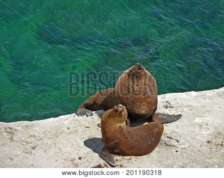 A massive couple of South American sea lions over a cliff on a sunny day. Otaria flavescens formerly Otaria byronia also called southern or Patagonian. Picture taken in Puerto Piramides Argentina.