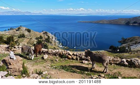 Donkeys' paradise 3 donkeys eating and resting at the top the terracing. Beautiful view of the royal blue Titicaca lake. The picture was taken at Isla del Sol Bolivia.