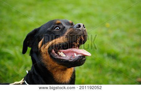 Rottweiler dog outdoor portrait open mouth in grass