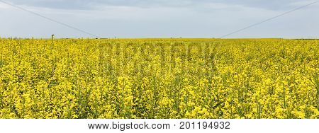 Field of bright yellow rapeseed in spring. Rapeseed oil seed rape.