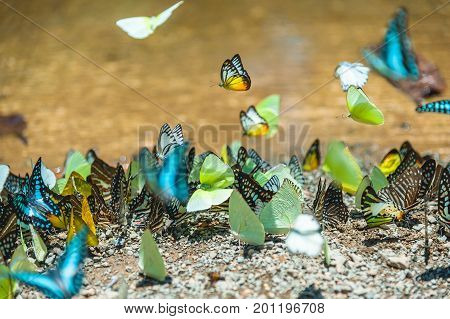 Group of butterflies puddling on the ground and flying in nature Thailand Butterflies swarm eats minerals in Ban Krang Camp Kaeng Krachan National Park at Thailand