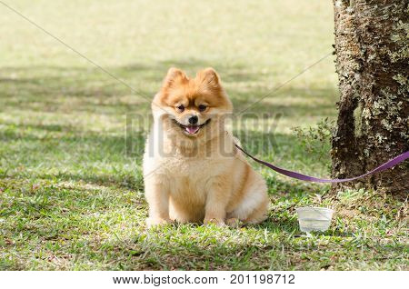 Pomeranian dog is bind with tree on green grass, cute animal and pet