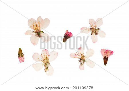 Pressed and dried аlmond steppe or prunus tenella flowers. Isolated on white background. For use in scrapbooking floristry (oshibana) or herbarium.