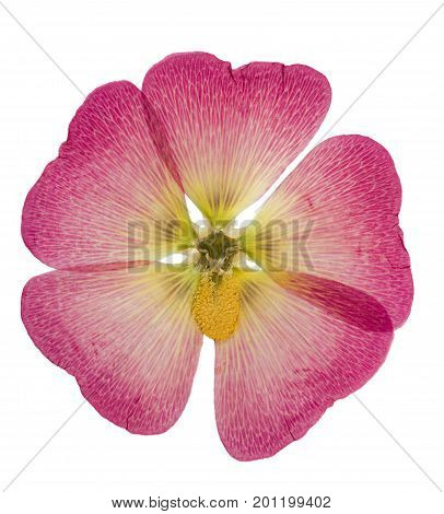 Pressed and dried pink flower mallow (malva) isolated on white background. For use in scrapbooking floristry (oshibana) or herbarium.