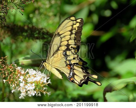 Eastern Tiger Swallowtail Butterfly in High Park of Toronto Canada August 23 2017